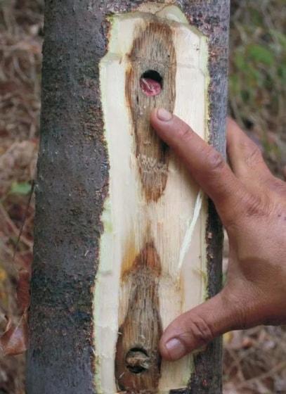 jenis kayu gaharu
