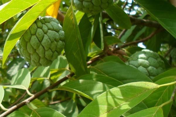 manfaat buah srikaya bagi kesehatan