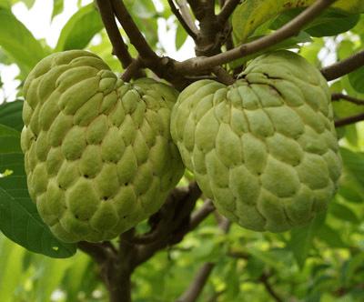 manfaat buah srikaya